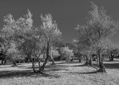 oliveraie sur la Séranne