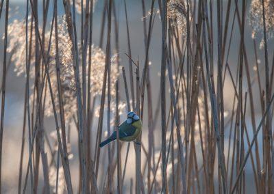 mésange bleue (Dombes)