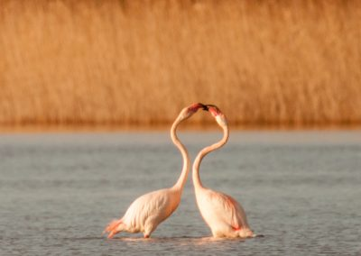 flamants roses: calins ou prises de becs ?