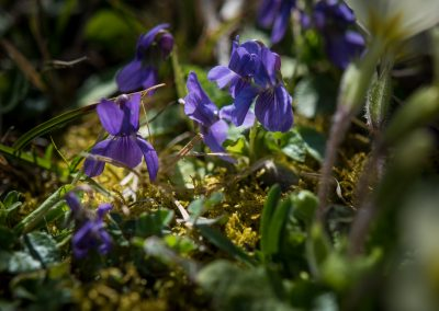 pelouse en liberté: violettes