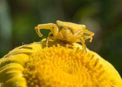 araignée crabe misumena