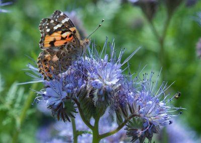 vanesse des chardons / Belle Dame (jardin)