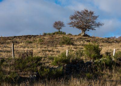il faut être courageux pour être un arbre sur l'Aubrac (vers le col des Vergnes)