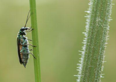 oedemère vert